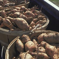 """Sweet Potato A Growing Guide """"Work in plenty of compost, avoiding nitrogen-rich fertilizers that produce lush vines and stunted tubes. In the North, cover the raised rows with black plastic to keep the soil warm and promote strong growth."""