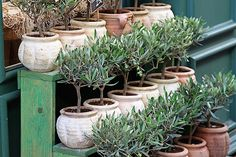 Baby olive trees