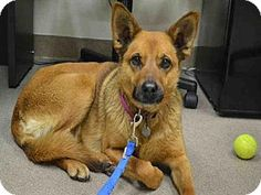 Aurora, CO - Australian Shepherd Mix. Meet JAZZ, a dog for adoption. http://www.adoptapet.com/pet/18202070-aurora-colorado-australian-shepherd-mix