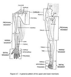 P0081 Skeletal Anatomy System Anatomical Chart Muscular