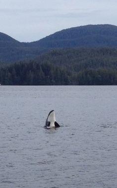Alaska Killer Whales (Orcas) Talking & Communicating ~~ So Beautiful!!. ❤