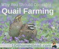 quail-farming1