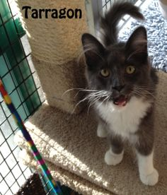 Hi, my name is Tarragon and I am quite the cutie. My foster mommy says I am awesome. You really have to meet me to love me and my sister Marjoram. We are amazing kittens; we love to play and are real purr monkeys! Come meet us today, better yet why don't you adopt us! !!  If you are interested in adopting these cats or any other one listed here please call 877-307-2747 or email adopt@whis-purr.org