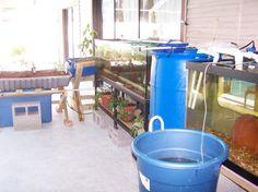 Tilapia Breeding - Aquaponic Gardening