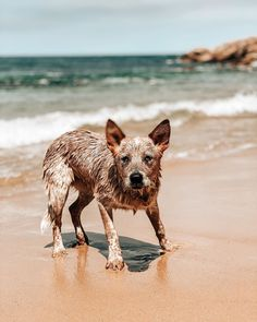 What Waste System to Use for Indoor Dogs Hot days cool water - and always ready for some frisbee action . Beach Fun, Ocean Beach, Australian Cattle Dog Puppy, Dog Litter Box, Dog Steps, Dog Training Pads, Hot Days, Go Outside, Dogs And Puppies