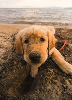Golden retriever and the beach! Yes please!