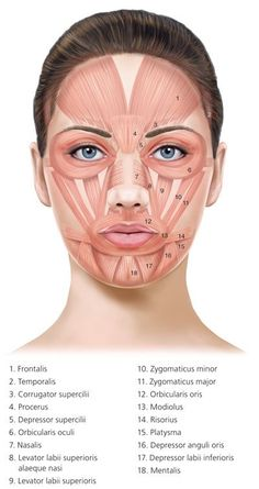 Botulinum Toxin Injection for Facial Wrinkles - American Family Physician - Botox News Skin Anatomy, Facial Anatomy, Human Body Anatomy, Human Anatomy And Physiology, Muscle Anatomy, Face Muscles Anatomy, Anatomy Of The Face, Botox Injection Sites, Botox Injections