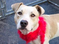 SAFE - 02/25/15 --- RETURNED 02/09/2015 --- SAFE --- Manhattan Center   VENUSAUR - A1017784   FEMALE, WHITE / TAN, PIT BULL MIX, 2 yrs STRAY - STRAY WAIT, NO HOLD Reason STRAY  Intake condition INJ MINOR Intake Date 10/17/2014, From NY 10466, DueOut Date 10/20/2014  https://www.facebook.com/photo.php?fbid=890877077591839