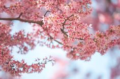 Jenny Rainbow Fine Art Photography Photograph - Pink And Blue. Pink Spring In Brno by Jenny Rainbow #JennyRainbowFineArtPhotography #Spring #Sakura #ArtForHome #FineArtPrints