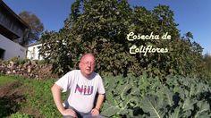 Cosechando coliflores (tuhuertofacil.es)