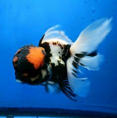 Tithras breeder Planted Goldfish Tank The Planted Tank Forum Black Goldfish, Comet Goldfish, Oranda Goldfish, Goldfish Aquarium, Goldfish Tank, Zoo Animals, Cute Animals, Tropical Freshwater Fish, Carpe Koi
