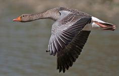 Greylag goose - Anser anser | Flickr - Photo Sharing!