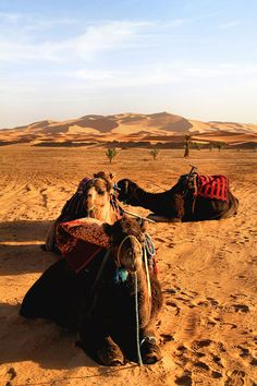 Camels that are used to trek the Erg Chebbi dunes, Morocco. [https://en.wikipedia.org/wiki/Erg_Chebbi]
