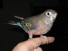 Bourkes parakeet. Scientific Name: Neopsephotus bourkii. (formerly known as Neophema bourkii)