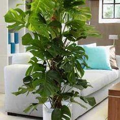 Η μονστέρα είναι ένα από τα πιο γνωστά φυτά εσωτερικού χώρου αλλά και βεράντας…