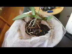 Orkidede köklerin çürümesi, sinek ve küf oluşması! Dead roots, flies and mildew at orchids!