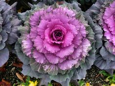 Shade plants ornamental cabbage purple green