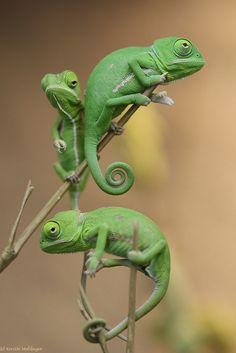 veiled chameleon (Chamaeleo calyptratus) hatchlings | +