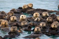 The proper term for a group of sea otters is A RAFT OF OTTERS.  So cute.