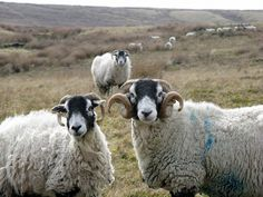 The couple . . . RP: Looks like a trio to me! Wouldn't the 2 horned sheep be males, fighting over who wins the heart, of the lady in the background???