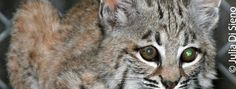 Governor Jerry Brown signed two important bills into law last Friday, October 11 – the Bobcat Protection Act (AB 1213), which sets no-trapping buffer zones around Joshua Tree National Park and other parks where bobcats are protected, and AB 711, which will phase out the use of lead in bullets for any hunting over the next five years.