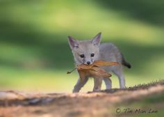 Kit Fox Pup | Bored Panda