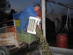 παραγωγός αδειάζει τις ελιές του στη χοάνη παραλαβής Home Appliances, House Appliances, Appliances