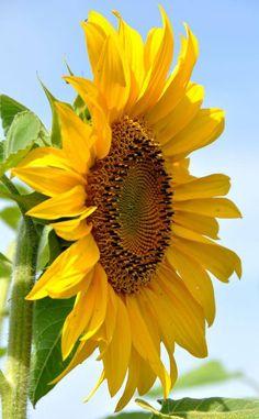 how to make a cactus flower Sunflower Garden, Sunflower Art, Sunflower Fields, Yellow Sunflower, Yellow Flowers, Happy Flowers, Flowers Nature, Beautiful Flowers, Sun Flowers