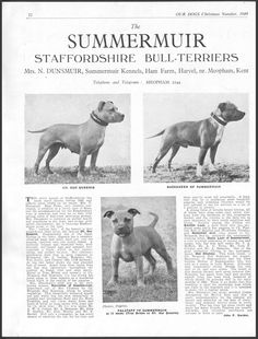 STAFFORDSHIRE BULL TERRIER OUR DOGS VINTAGE 1949 BREED KENNEL