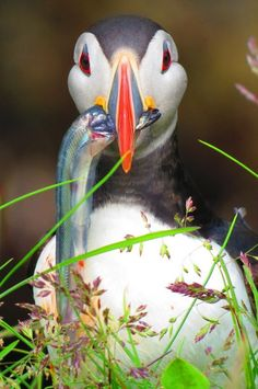 Iceland's top locations to see exotic birds & wildlife – because the country is about so much more than the Golden Circle and that famous geothermal lagoon! Otter, Puffins Bird, Iceland Travel, Sea Birds, Exotic Birds, Bird Feathers, Beautiful Birds, The Good Place, Cute Animals