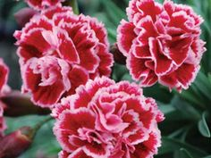 dianthus sugarplum flowers