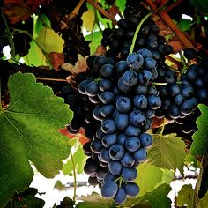Thackrey & Company Wine Makers   Sean Thackrey's award-winning Orion wines are produced from syrah grapes in California. Thackrey is a proponent of rediscovering medieval wine-making techniques and includes resources on this subject on his website. Zone 6-9