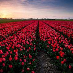 Was für eine Pracht ❤ Blumen so weit das Auge reicht #keukenhof #amsterdam #niederlande #tulpen #getaway #instatravel…