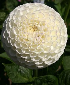 white button dahlia  love! wonder if it would grow here?