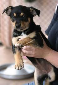 Cute Kelpie x pup