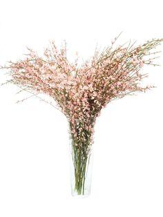 Ginster ist ein beliebtes frühlingshaftes Beiwerk, welches einen dezenten Duft verströmt und sich sehr gut hält. Diese Sorte blüht in einem hellen Rosaton. …