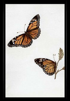 """Monarch Butterfly"" {Danaus plexippus}  by Katherine Plymley."