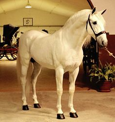 Pura Raza Española stallion, Liquen.
