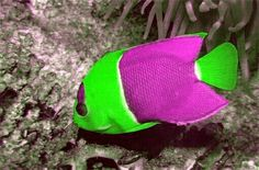 Green & Purple Angelfish