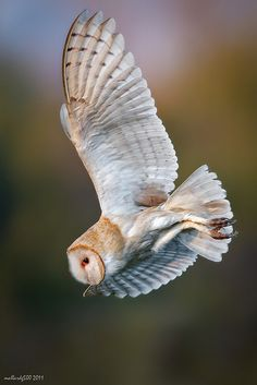 Amazing photo of a barn owl - look out for them during your #BigWildSleepout. Did you know that barn owls don't hoot? They are known for their long, eerie shriek!