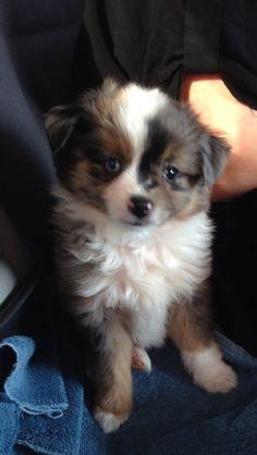 Nathan, Toy Australian Shepard puppy