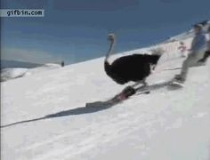 Ostrich skiing
