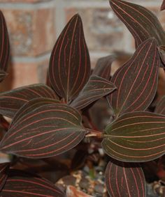 Jewel Orchids are the only type of orchids that are grown for its foliage instead of its flowers because it has beautiful velvety leaves. Site includes instructions.  Portland Nursery had these. Beautiful!