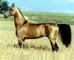 The Akhal-Teke may look delicate, but it was bred for sport and endurance runs in the harsh deserts of Turkmenistan, where water and food are scarce.The Akhal-Teke is one of the oldest horse breeds in the world, a descendant of the Nicean horse, and ancient to its home in Turkmenistan, where its shimmering coat blends in well with its desert surroundings.
