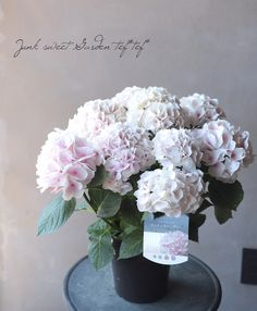 【花後価格】ハイドランジア 紫陽花 『コットンキャンディ』剪定後のお届けになる場合がございます。 | Flower Species | | Junk sweet Garden tef*tef*