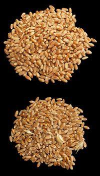 El CSIC pide cultivar trigo transgénico para celíacos