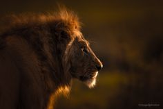 Lion King by majed ali on 500px