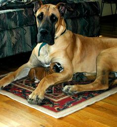 Midas with boxer puppy