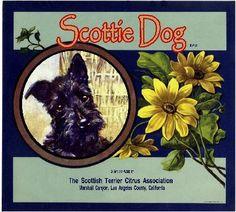 Marshall Canyon Scottie Scottish Terrier Dog Orange Citrus Crate Label Art Print