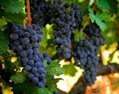 St Helena Wine
